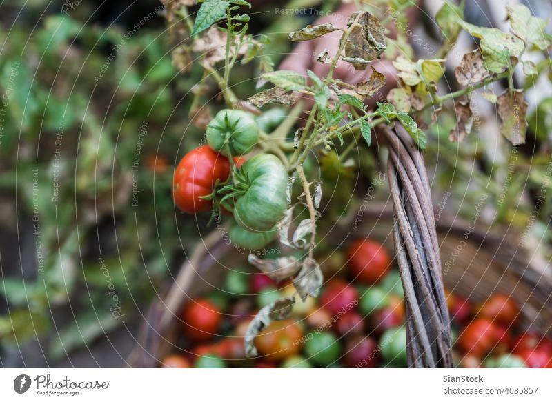 Männerhände bei der Ernte von frischen Bio-Tomaten in seinem Garten Bauernhof Gartenarbeit Gesundheit Lebensmittel grün organisch Ackerbau Sommer Pflanze rot
