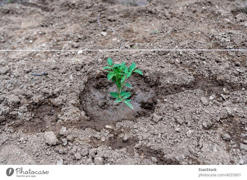 Die Tomatenpflanze wächst im Garten. frisch Wachstum Blatt Natur sprießen grün Ackerbau Boden Bauernhof Frühling Licht Baum neu Saison Setzling Wurzel Ökologie