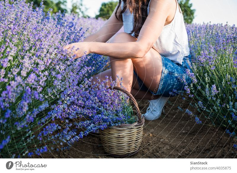 Junge Frau Ernte Lavendel Blumen im Feld Korb Sonne natürlich Mädchen purpur im Freien Blumenstrauß Natur Kräuterbuch geblümt Wiese Tag Provence Blütezeit schön