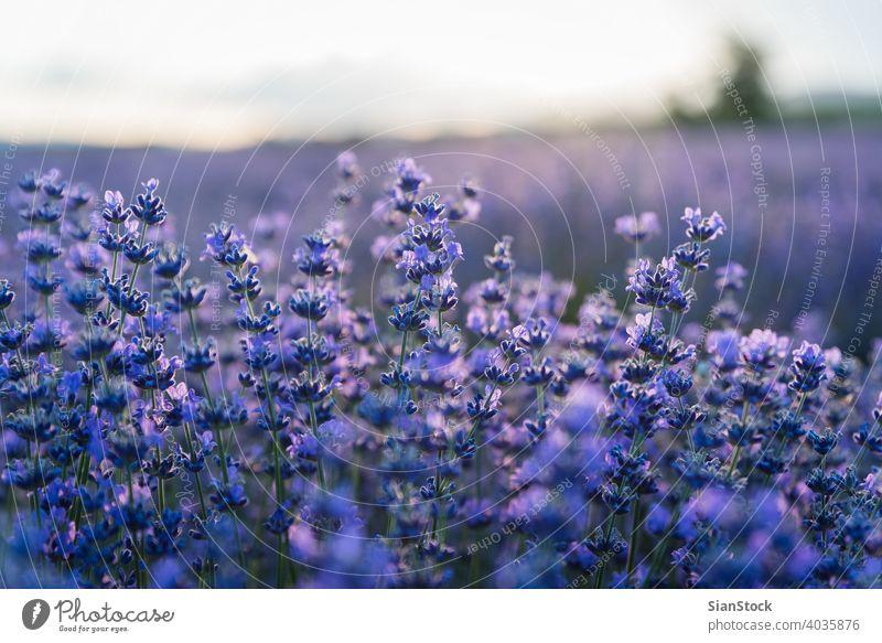Sonnenuntergang über einem violetten Lavendelfeld in Griechenland Aroma grün magenta Kraut Pflanze mediterran Aromatherapie blau purpur Feld Blume Blütezeit