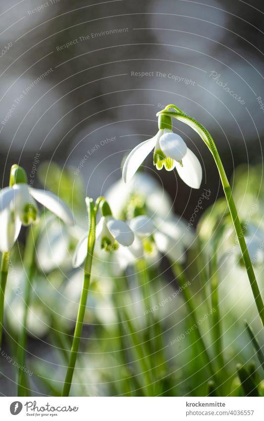 Frühlingsanfang: Schneeglöckchen im Sonnenlicht Blüte Blume Pflanze Natur grün Farbfoto weiß Außenaufnahme Tag Frühlingsblume Schwache Tiefenschärfe