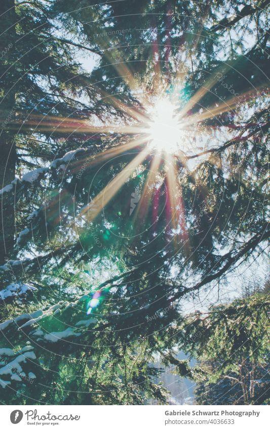 Strahlender Waldspaziergang Sonnenstrahl Sonnenstrahlen Sonnenlicht Tannenbaum Tannenzweig Tannenbäume Zweige u. Äste Schnee schneebedeckt Schwarzwald leuchtend