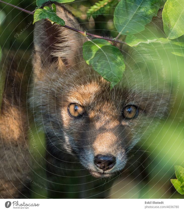 Neugieriges Fuchsjunges späht aus dem Busch Rotfuchs Fuchswelpe Fuchspieker Fuchs schaut freundlich drein Tier Wildtier wilde Natur Natur-Foto