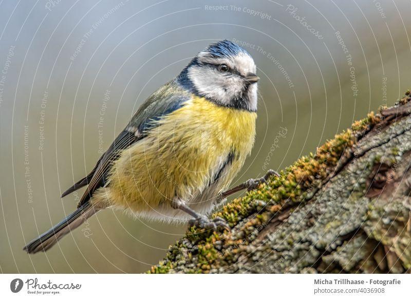 Blaumeise auf einem Ast Cyanistes caeruleus Meisen Kopf Auge Schnabel Flügel Feder gefiedert Krallen Tiergesicht Vogel Wildtier Sonnenlicht Baum Schönes Wetter