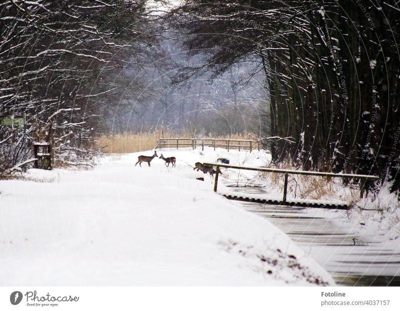 Eingeschneit sind Wege, Bäche, Brücken und Wälder. Ein Rudel Rehe sucht nach Nahrung und Wasser. Winterlandschaft Schnee weiß kalt Natur Landschaft