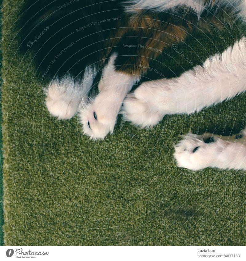 Katzentatzen auf grünem Teppich, Entspannung pur Tatze weiß wuschelig langhaarig getigert zottelig entspannt Hauskatze Fell Haustier hübsch anmutig verträumt
