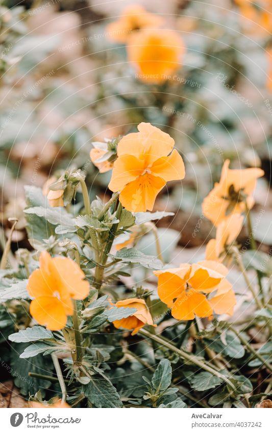 Eine super Nahaufnahme einer orangefarbenen Blume blüht im Frühling Hintergrund Pflanze Natur Blütezeit Schönheit Saison schön Blütenblatt frisch natürlich