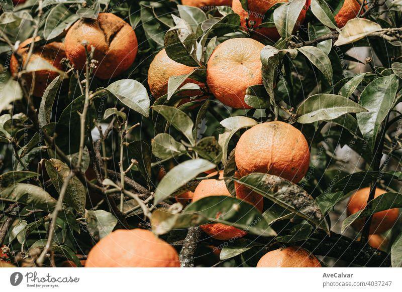 Ein Strauß Orangen im Frühling in einem Baum mit bunten Tönen orange Natur Zitrusfrüchte Hintergrund grün reif Frucht süß organisch Lebensmittel natürlich Blatt
