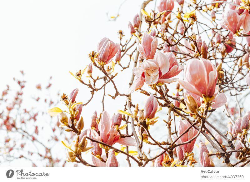 Hintergrund von Baum mit blühenden Blumen während des Frühlings mit einem hellen Himmel Pflanze Natur Blütezeit Schönheit Saison schön Blütenblatt frisch