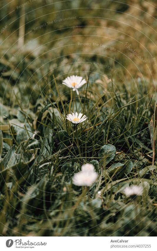 Ein blühendes Gänseblümchen in der Mitte des Grases im Frühling Hintergrund Pflanze Natur Blume Blütezeit Schönheit Saison schön Blütenblatt frisch natürlich