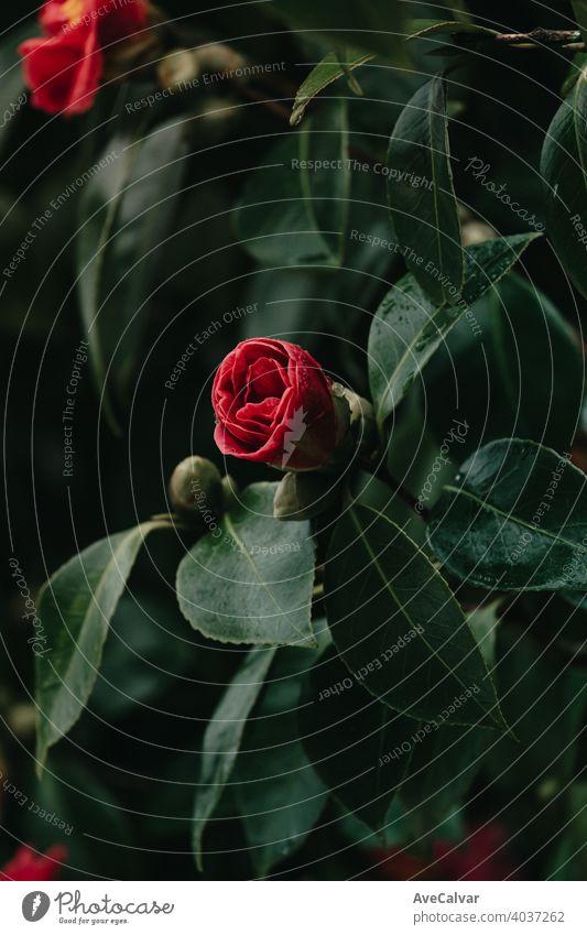 Eine rote Rose blüht im Frühling von einem Baum auf bunten Tönen mit Kopierraum und Wassertropfen Hintergrund Pflanze Natur Blume Blütezeit Schönheit Saison