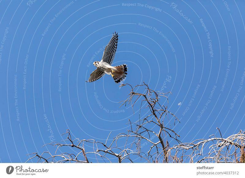 Fliegender weiblicher südöstlicher amerikanischer Turmfalke falco sparverius paulus, mit ausgebreiteten Flügeln fliegen Flügelspannweite Buntfalke Falken
