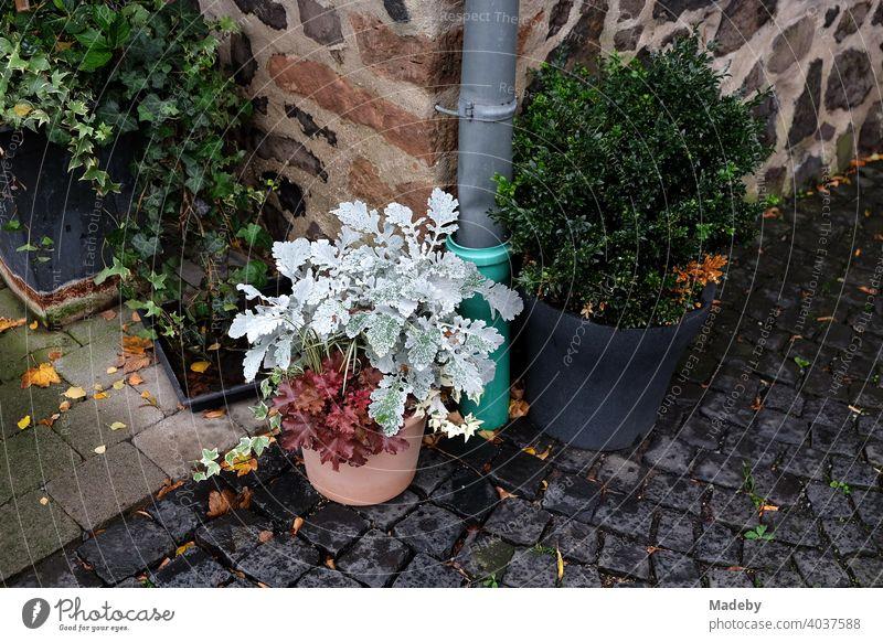 Blumentöpfe mit Zierpflanzen im Innenhof von Burg Gleiberg in Wettenberg Krofdorf-Gleiberg bei Gießen in Hessen Pflanze Blumentopf Dekoration Verzierung
