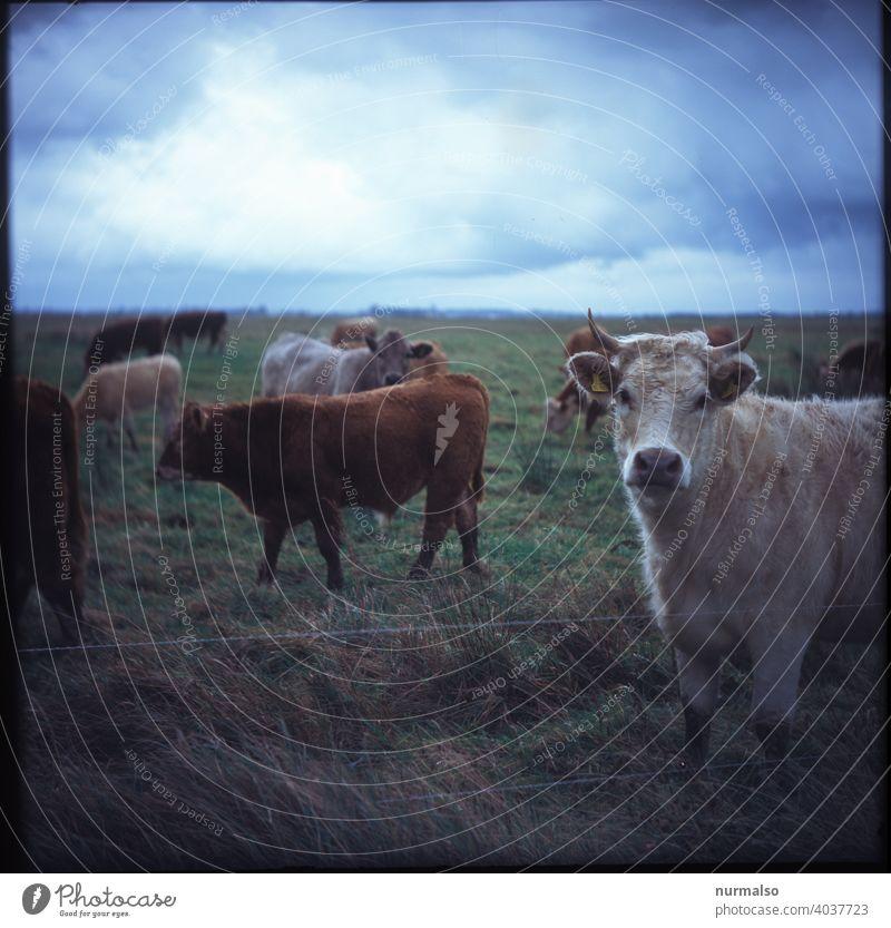 Muhh Kuh Landwirtschaft Bio Wiese Viehhaltung Fleischwirtschaft Hörner Fell Milch gesund draussen Biolandwirtschaft Rindfleich Gulasch Roulade Salami Steak