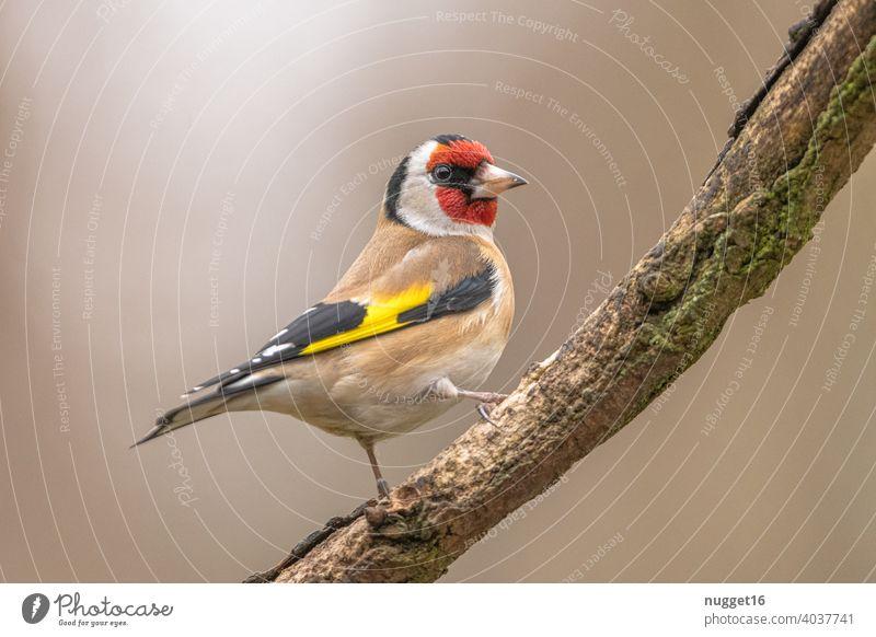 Stieglitz / Distelfink auf Ast Tier Farbfoto 1 Außenaufnahme Natur Wildtier Menschenleer Tag Umwelt natürlich Vogel Tierporträt Tiergesicht