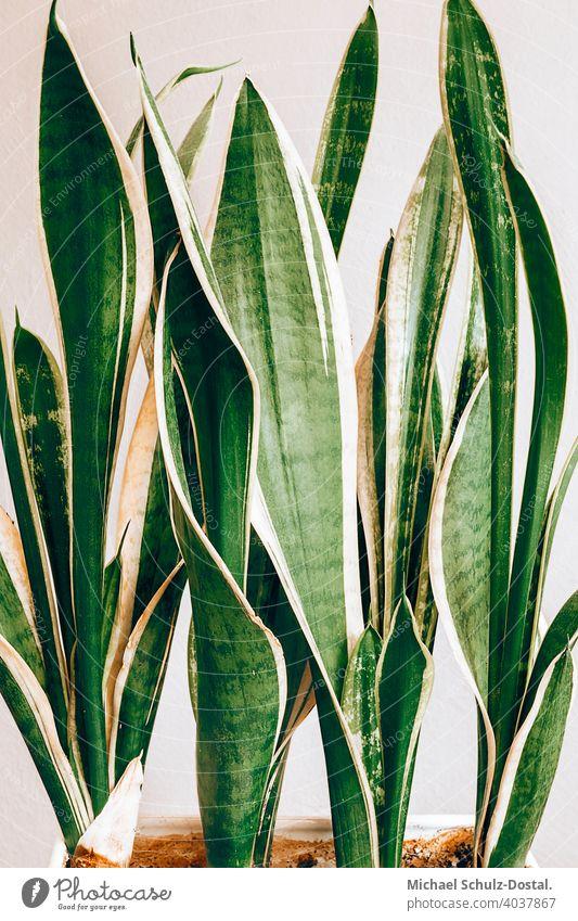 dekorative Pflanze mit außergewöhnlichen Blättern Blume Zierpflanze schön ruhig flower plant calm quiet grün lila green violet violett still stillleben