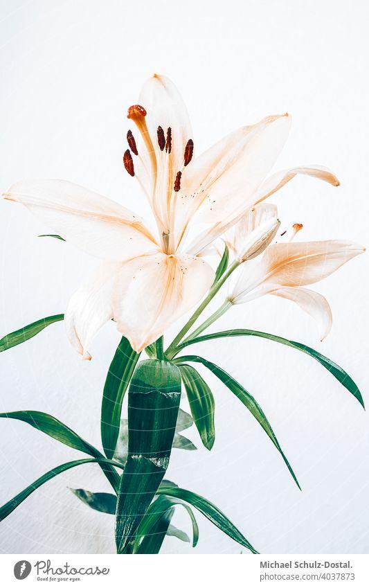stylische Hyazinthe vor weißer Wand Blume Pflanze Zierpflanze schön ruhig flower plant calm quiet grün green still stillleben deko strauß orange apricot atmo