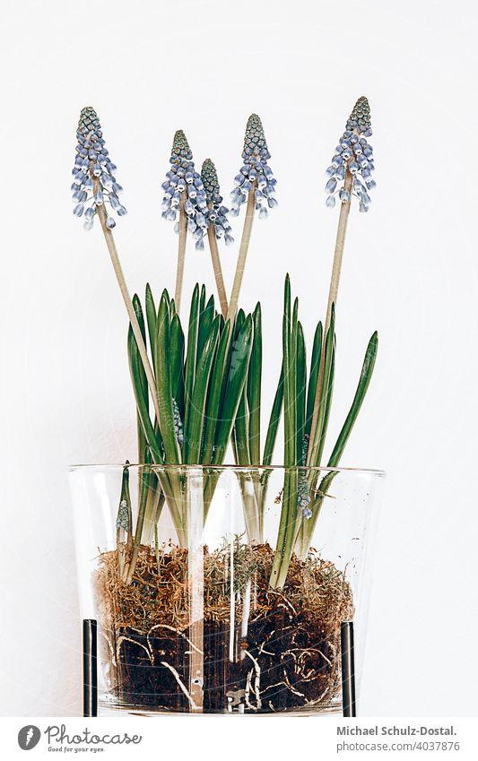Perlhyazinthen im transparenten Gefäß Blume Pflanze Zierpflanze schön ruhig flower plant calm quiet grün green still stillleben deko blau vase topf gefäß