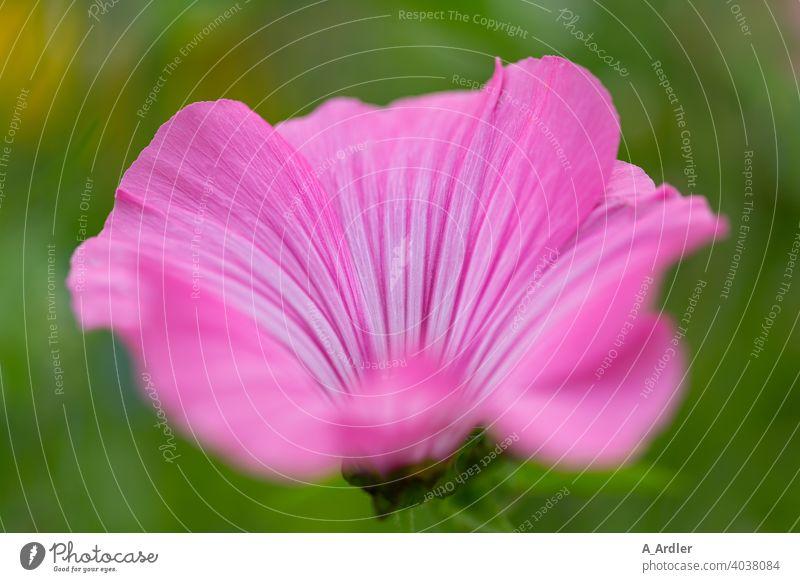 Rosa Bechermalve (Lavatera trimestris) / Strauchmalve / Malve Blumen Macro Makro Makroaufnahmen Pflanzen Malvengewächse Malvenart Malvenbluete Natur Sommer