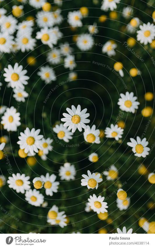 Wildes Gänseblümchenfeld Hintergrund Korbblütengewächs Margeriten Gänseblümchenwiese wild Frühling Frühlingsgefühle Frühlingsblume Beautyfotografie Blütenblatt