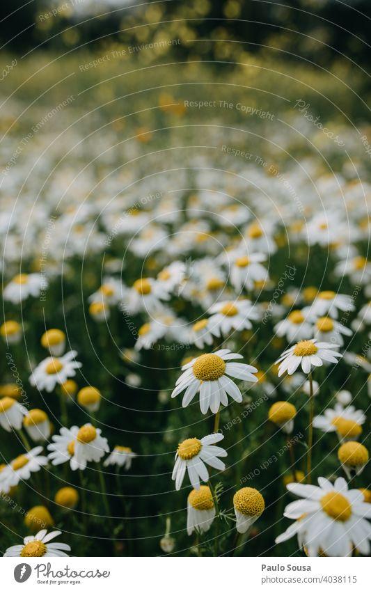 Wildes Gänseblümchenfeld Nahaufnahme Korbblütengewächs Margeriten Frühling Frühlingsgefühle Frühlingsblume Blüte Blühend Blütenblatt Pflanze Sommer Blume Natur
