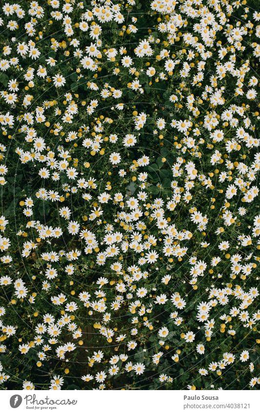 Wilde Gänseblümchen Hintergrund wild Korbblütengewächs Margeriten Gänseblümchenwiese Frühling Frühlingsgefühle Frühlingsblume Frühblüher Blick von oben