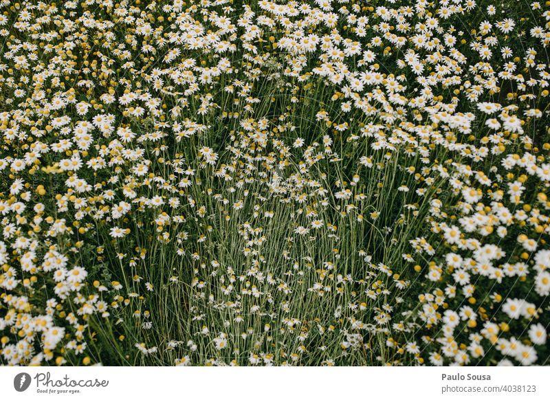 Wildes Gänseblümchenfeld Frühling Frühlingsgefühle Blick von oben Menschenleer Blühend Wiese Blüte Pflanze Außenaufnahme Gras Blume Natur Farbfoto Nahaufnahme