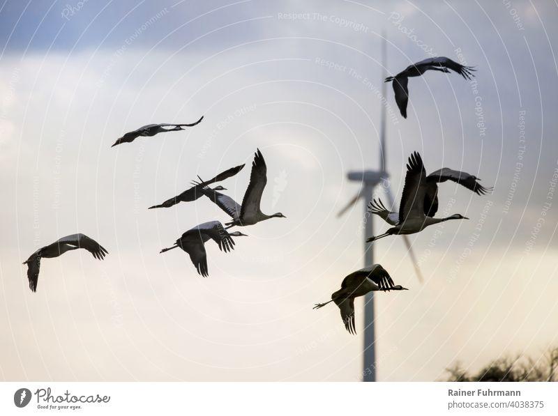 Ein Schwarm Kraniche fliegt im Land Brandenburg. Im Hintergrund steht eine große Windkraftanlage. Vögel Barnim Deutschland Natur Himmel Außenaufnahme Farbfoto
