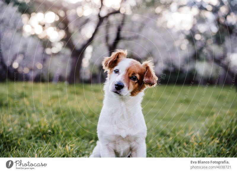Porträt von schönen Jack Russell Hund im Park bei Sonnenuntergang. Blüte und Frühling jack russell Natur niedlich klein gehorsam Gras freundlich Spaß attraktiv