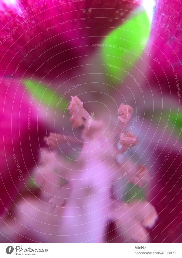 Blume Stempel und Staubblätter Makro Markrofotografie Blumen Frühling Nahaufnahme Makroaufnahme Detailaufnahme Pflanze Natur Farbfoto Blütenblatt pink grün