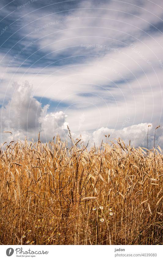 so war der sommer. Ferien & Urlaub & Reisen Sommer Kornfeld Natur Feld Landwirtschaft Nutzpflanze Getreide Ähren Wachstum Pflanze Ernährung Umwelt Ernte