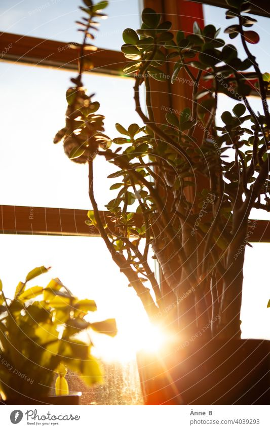 Geldbaum vor einem Fenster im Sonnenschein Sonnenlicht Sonnenuntergang Pfennigbaum Crassula ovata Dickblattgewächse Sukkulenten Pflanze Licht Lichtspiel