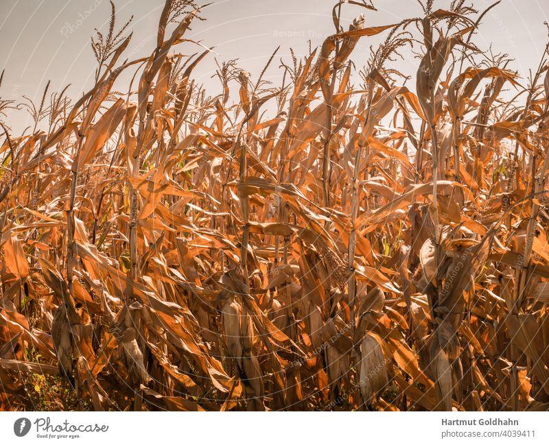 Feld mit Maispflanzen und reifen Maiskolben leuchtet goldgelb im Sonnenlicht. feld Maisfeld Getreide Nutzpflanze Pflanzen ländlich Nahrung Landwirtschaft