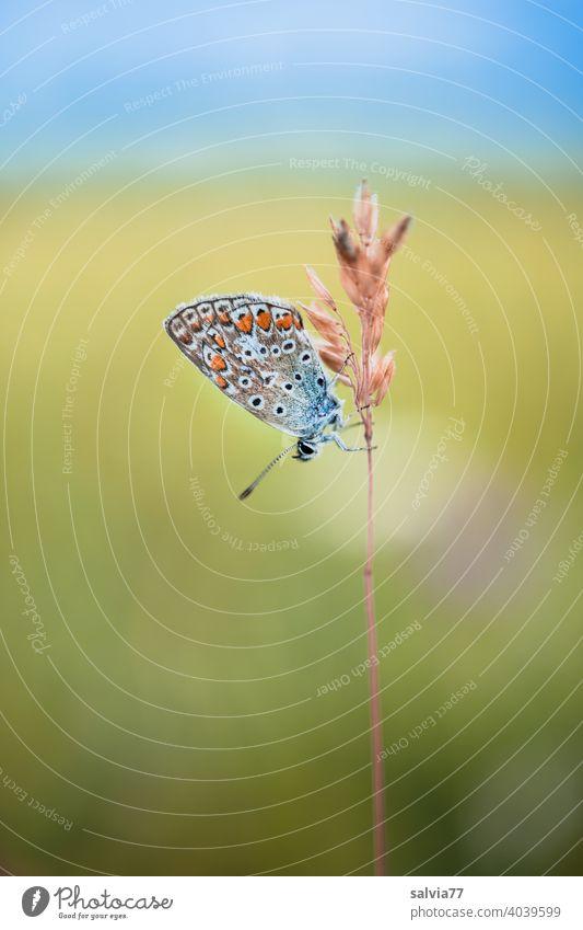 kleiner Bläuling in Ruheposition Schmetterling Bläulinge Natur Farbfoto Tier Insekt Flügel Tierporträt Textfreiraum oben Makroaufnahme Pflanze Grashalm
