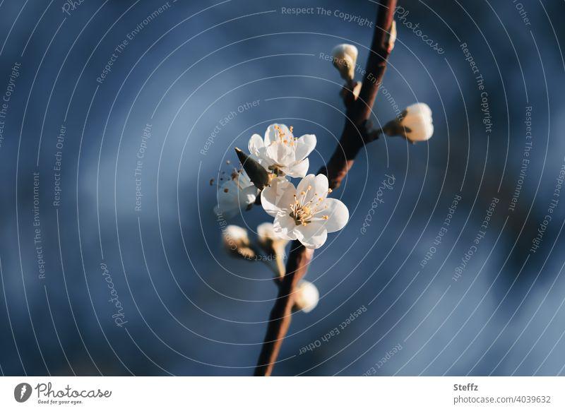 Kirschblüte vor dunkelblauem Himmel Frühlingserwachen blühende Kirsche Vorfreude Frühlingsblüte alles blüht Neubegin Anfang Erneuerung Neuanfang