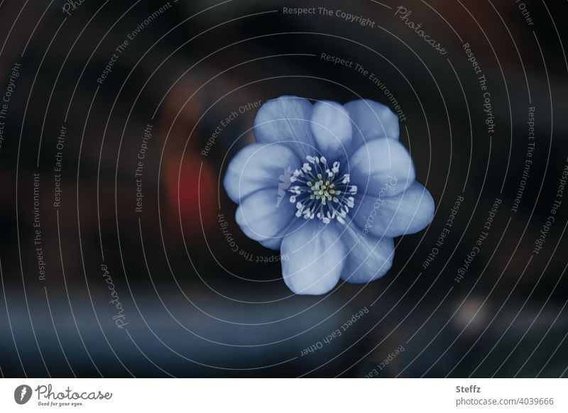 kleine blaue Frühlingsblume Siebenbürger Leberblümchen Hepatica transsilvanica Zierpflanze Frühblüher blaue Blume blühende Blume Hepatica transsilvanica Buis