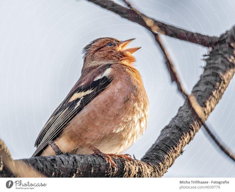Singender Buchfink Fink Fringilla coelebs Kopf Schnabel Tiergesicht Flügel Krallen Auge Vogel Wildtier Feder Zweige u. Äste Farbfoto singen trällern zwitschern