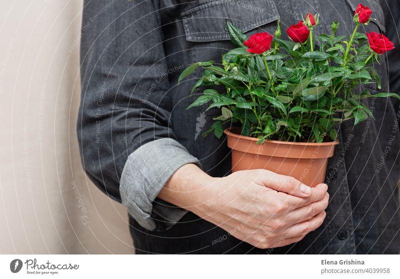Nahaufnahme von leuchtend roten Blumen in einem Topf in den Händen eines professionellen Floristen. Roséwein Hand Frau Haus Pflanze geblümt Laden Arbeit