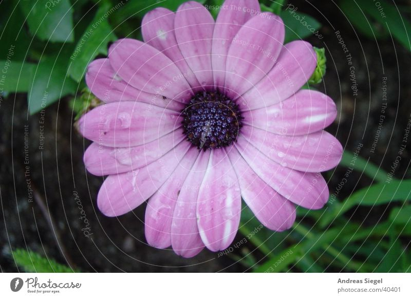 Aus dem Garten Natur Wasser schön Blume Blüte Garten rosa Wassertropfen nass violett zart