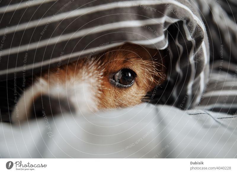 Haustier unter Decke im Bett. Porträt von traurigen Hund wärmt bei kaltem Wetter Auge Maul krank Stimmung atmosphärisch Nase frieren Aussehen niedlich Welpe