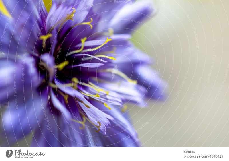 Violette Scabiosa mit gelben Staubblättern Blume Blüte violett Pflanze Blühend Blütenblätter Frühling Garten xenias
