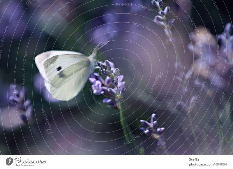violette Stimmung des Nachmittags Natur Sommer Pflanze Lavendel Garten Schmetterling Flügel Weißlinge Großer Kohlweißling Blühend Duft natürlich schön