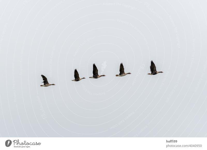 Graugänse in diagonalere Formation vor weißem Himmel Graugans Zugvogel weißer Hintergrund Wildtier Vogel Tiergruppe Schwarm Gans fliegen Vogelschwarm Vogelzug