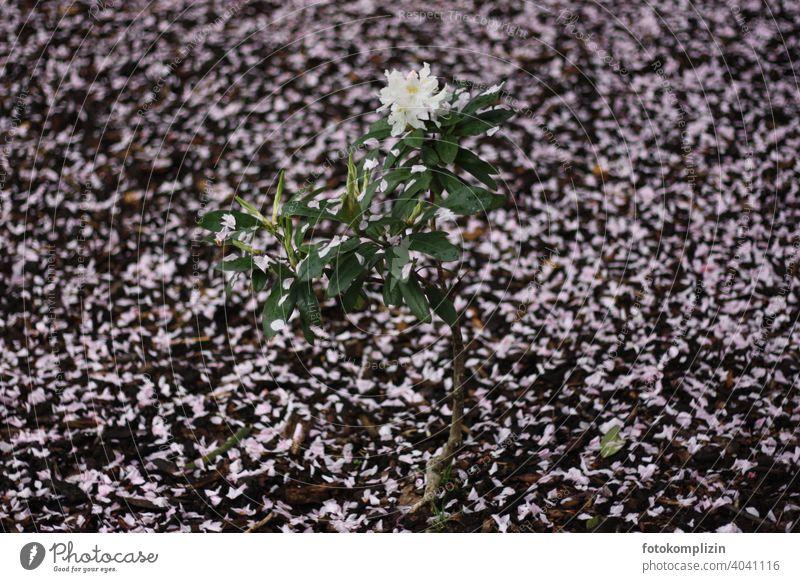 weiss blühendes Rhododendron Pflanzenstämmchen zwischen herabgefallenen rosa Blütenblätter auf der Erde Azalee Blühend Blume Frühling weiß Blütenteppich Botanik