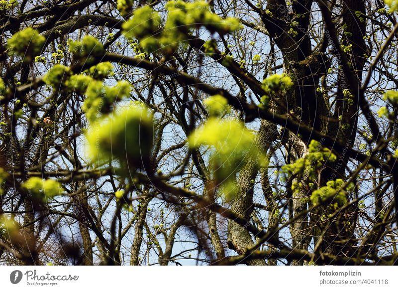 hellgrüne Baumblätterknospen Blätter Knospen knospen treiben Frühling Pflanze Wachstum leuchtende Farben leuchtend grün Blatt Blattgrün frisch Botanik Natur