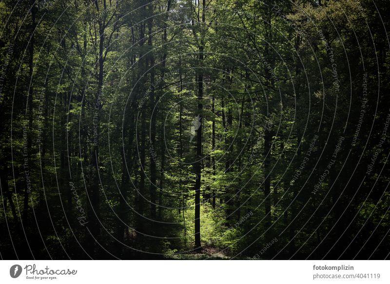 einzelner Baum in einem Lichtstrahl zwischen vielen Bäumen im Wald Lichtung Waldlichtung Waldrand Waldspaziergang Waldstimmung waldgebiet Natur Umwelt grün