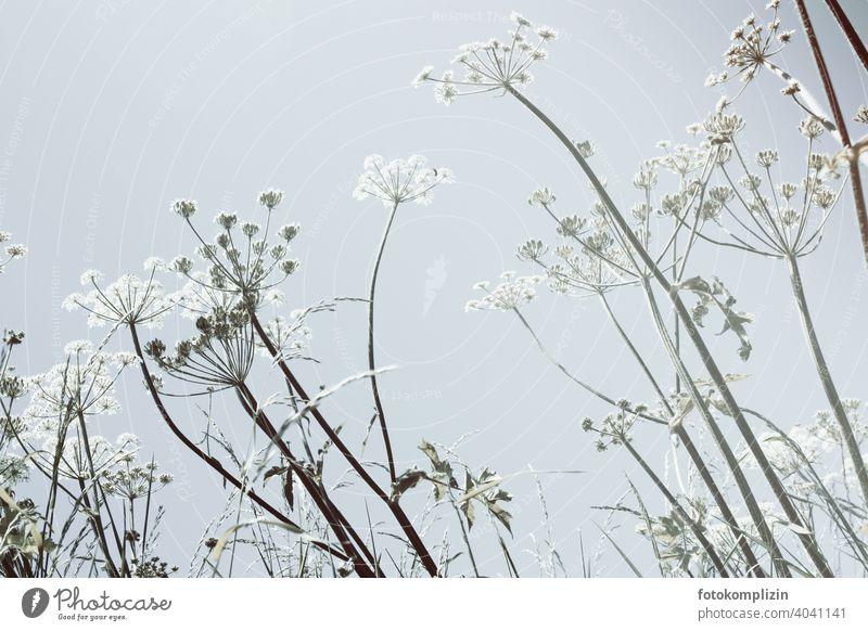 helle Wiesenblumen vor hellem Himmel Wildblumen Blume Blumenwiese blühen Pflanzen fein flora Blüte Wildpflanzen Nahaufnahme filigran Sommerblumen Naturliebe
