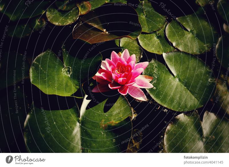 pink blühende Seerose zwischen Seerosenblätter Seerosenblatt Seerosenteich Teich Blatt Blüte Pflanze Wasser Blühend Wasserpflanze Blume Sommer schön Nahaufnahme