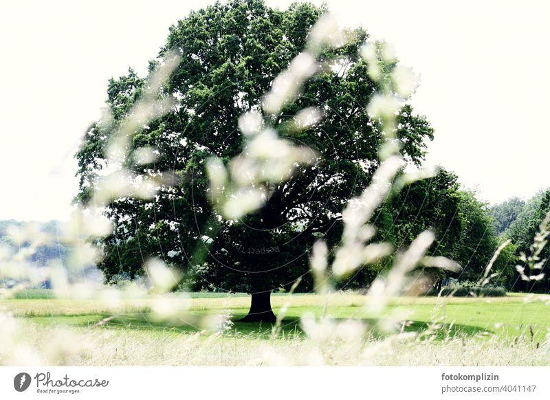 großer alter Baum auf einer Sommerwiese Bäume Baumliebhaber Landleben Laubbaum grün auf dem Land im Grünen Umwelt Baumkrone Naturliebe Meditation vitalität