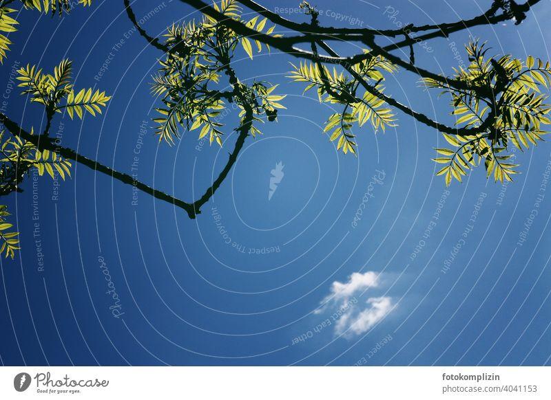Esche-Äste mit frisch grünen, leuchtenden Blättern von unten fotografiert mit dunkelblauem Himmel und einer kleinen Wolke Blatt Zweige u. Äste Ast Natur